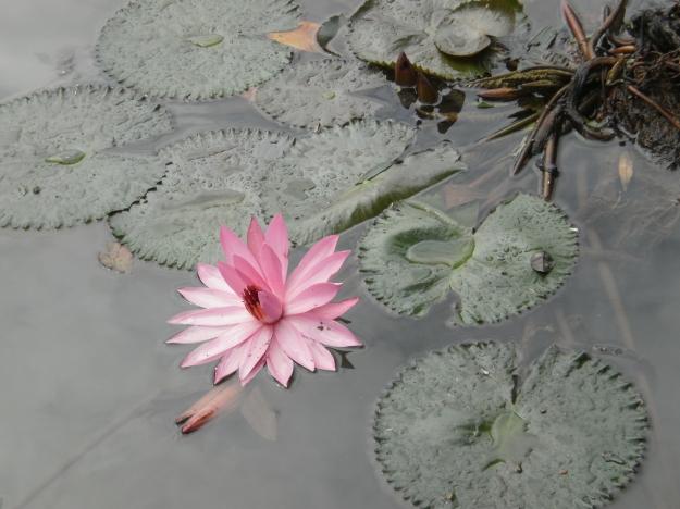 Bunga teratai yang tumbuh di sana menambah keindahan kolam di taman Situlembang