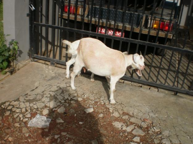 biasanya anjing galak yang di depan rumah tetapi kali ini malah menemukan kambing di depan rumah