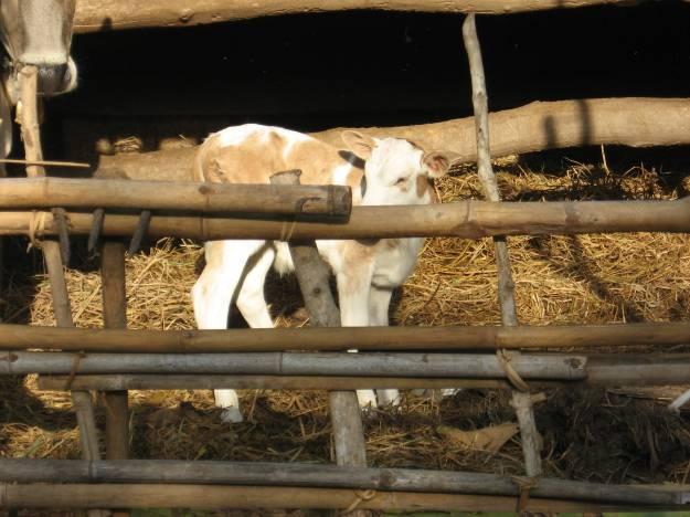 Hewan peliharaan warga kebanyakan adalah sapi dan kambing. Sapi dewasa bisa digunakan untuk membantu petani dalam membajak sawah.